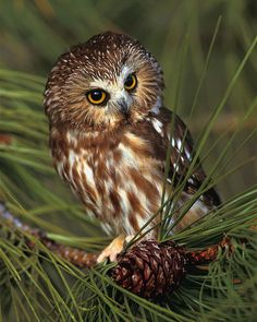 Saw Whet Owl 8x10 Wildlife Photography Animal by NatureIsArt