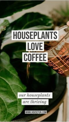 houseplants love coffee as a natural fertilizer I water my plants with coffee. Coffee is a natural fertilizer for houseplants. Outdoor Plants, Garden Plants, Outdoor Gardens, Plants Indoor, Flowering House Plants, Easy House Plants, House Plants Decor, Water Plants, Plant Decor