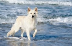 White German Shepherd They really love the water