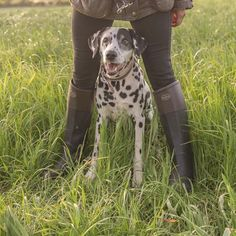 Country walks with this beauty #Andalou #countrylife #dalmation #dogwalking  @spots_in_england_