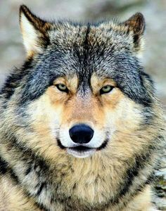It looks like a wise old grand dad wolf to me :)