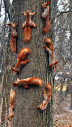 Red Squirrels playing in their very own wooded playland.
