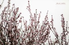 Almond trees in bloom // Almost Spring