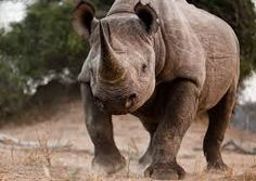Image result for rhinoceros charging