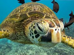 There are numerous types of tortoise, including the Red Footed Tortoise, the African Spurred Tortoise, and the species picked most commonly as pets Sea Turtle Pictures, Animal Pictures, Turtle Love, Green Turtle, Largest Sea Turtle, Animals Beautiful, Cute Animals, Red Footed Tortoise, Sulcata Tortoise