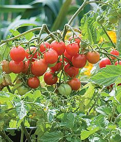 Grow robust tomato plants with Burpee's high yield tomato seeds today. Shop quality beefsteak, cherry, slicing, paste, and heirloom tomato seeds for sale. Find over 100 types of tomato seeds & plants for sale at Burpee. Types Of Tomatoes, Growing Tomatoes In Containers, Grow Tomatoes, Cherry Tomatoes, Yellow Tomatoes, Baby Tomatoes, Container Vegetables, Container Gardening, Vegetable Gardening