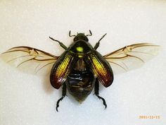 scarab wings open - Google Search