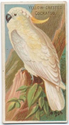 Yellow-crested cockatoo. From New York Public Library Digital Collections.