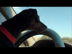 SUPER FUNNY dog driving car!!! -  #dogs #funnydogs #puppy #doglover #animal #pet #cute #pets #animales #tagsforlikes Stop Your Dog's Behavior Problems! Click HERE to learn how! This cute little Min Pin puppy can drive a car!!! UNBELIEVABLE!!! Watch those mirrors 🙂 Filmed in 1080p HD Filmed by ArizonaAdventuresS Music... - #Dogs