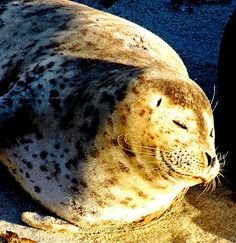 https://flic.kr/p/7nBzRz | Lazy Bliss Smile, Seal Nap at La Jolla Cove | Lazy or just plain content. Happiness is a warm beach and a good meal of fish and a nice beach to lay you head on. Especially if you are a harbor sea in San Diego where you have your very own cove to lay around for six months or more.  These fellows are easy to get close to if you use a telephoto lents and walk out on the sea wall near La Jolla.  They dont really show off much and mostly nap all day and sometimes hop…
