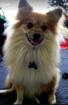 Meet Fox, an adoptable Pomeranian looking for a forever home. If you're looking for a new pet to adopt or want information on how to get involved with adoptable pets, Petfinder.com is a great resource.