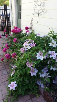 My Peonies and Clematis