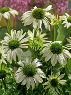 Echinacea Purpurea Seeds JADE Perennial Coneflower MEDICINAL HERB 15 Seeds ** Learn more by visiting the image link. (This is an affiliate link) Types Of Herbs, Flowers Perennials, Herb Seeds, Planting Flowers, Plants, Maple Tree Seeds, Echinacea Purpurea, Evergreen Plants, Perennials