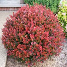Easy to Grow Shrub with Dramatic Color! – This is a landscape designers favorite shrub, giving you excellent dark red foliage for a multitude of ornamental uses. People love this shrub because it gives you incredible color without the maintenance- no pest Landscaping Shrubs, Garden Shrubs, Front Yard Landscaping, Landscaping Ideas, Patio Plants, Landscaping Software, Backyard Patio, Inexpensive Landscaping, Landscaping Melbourne
