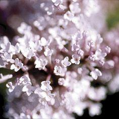 From the Fairytail series of dwarf lilacs, this petite cultivar bears single, light pink flowers in mid- to late season. Light Pink Flowers, Flower Lights, Colorful Flowers, Beautiful Flowers, Fine Gardening, Garden Soil, Garden Plants, Organic Gardening, Dwarf Lilac