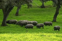 Image result for Iberico Pigs