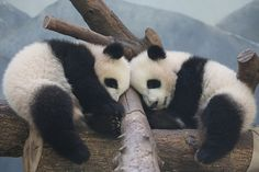 smileybears Sleeping Cuties  Mei Lun and Mei Huan - 2/9/14