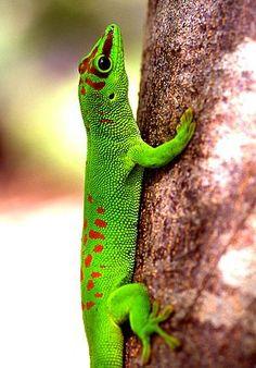 Der Madagaskar Taggecko