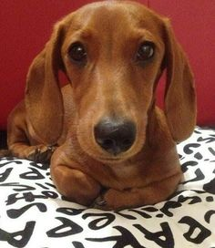 Dachshund Products, Apparel and Gifts Dachshund Puppies, Weenie Dogs, Dachshund Love, Cute Puppies, Cute Dogs, Dogs And Puppies, Daschund, Doggies, Dachshund Clothes