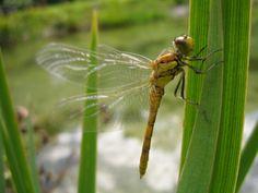 Frischgeschlüpfte Heidelibelle (Sympetrum striolatum) | Una Sympetrum striolatum appena nata #dragonflies #trauttmansdorff