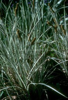 Carex riparia 'Variegata' in bloom (Greater Pond Sedge)