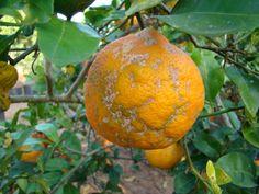 Limão cravo, rosa, china ou vinagre, o citrus limonia  tem muitas sementes e a parte interna do fruto na cor laranja. A fruta é uma mistura de limão e tangerina e é o mais importante porta-enxerto do país. É atingido por uma doença chamada verrugose, inofensiva para os seres humanos, mas que deixa a casca com aparência desagradável. Tem a combinação perfeita de acidez e baixa frutose, que faz deste limão o melhor para temperos.  Fotografia: Dr. Dalmo Lopes de Siqueira/ Divulgação.