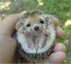 NEW BORN HEDGE HOG !!! SO Cute