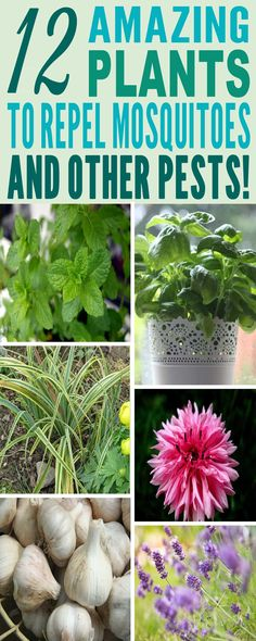Warm weather invites the gardener's nightmare: Mosquitoes and beastly pests! This post aims at giving you some great ideas regarding those plants that you can keep in order to keep…