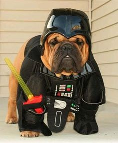funny bulldog Numerous Star Wars fans have come to associate National Star Wars Day with the of May by associating May the be with You and May the Force Be With You. War Dogs, Funny Dogs, Funny Animals, Cute Animals, Funny Pix, Funny Stuff, Hilarious, Bulldog Puppies, Dogs And Puppies