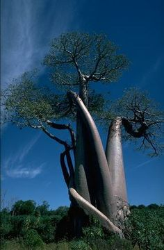 Baoab tree's have hollow trunks. Wouldn't this make for a GREAT tree house? or shelter...