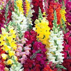 Antirrhinum majusPrydløvemunn  LøvemunnScrophulariaceae MaskeblomstfamilienSOMMER