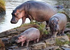 Hippopotamus family crossing small island in river, Masai Mara, Kenya.