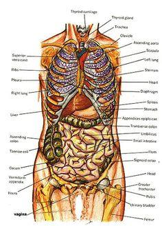 female torso anatomy diagram