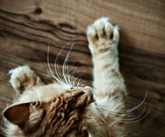 | via Tumblr   interesting photo of young longhaired orange tabby cat with immense whiskers climbing a wooden wall