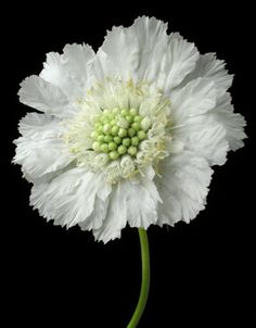 Scabiosa caucasica 'Perfecta Alba' - a lovely perennial that loves the sun.
