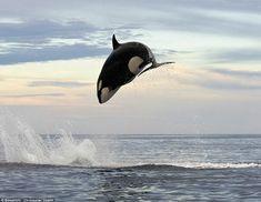 海面から5mもジャンプし、イルカを捕食するシャチの獰猛にして勇壮すぎる写真
