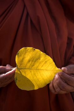 a. abbas(1944- ), sri lanka. anuradhapura. a buddhist monk hold a leaf from the sacred bodhi tree believed to be an offshoot of the buddha's.