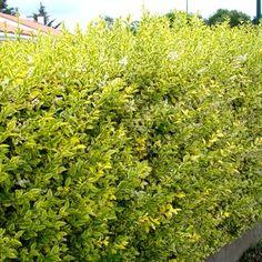 Troëne de Californie doré Variété à feuillage panaché de vert et jaune, le Ligustrum ovalifolium aureum s'utilise en haie libre ou taillée, seul ou en mélange à d'autres arbustes : Photinia, Eleagnus, troène vert, laurier tin,... C'est un superbe arbuste pouvant atteindre 3-4m. Il a un port arrondi. Son feuillage est persistant voir semi-persistant. Les feuilles sont petites, ovales, épaisses et largement panachées de jaune vif. La floraison donne des panicules blanches et pa... Home And Garden, House Plants, Plants, Garden, Indoor Garden, Hedges