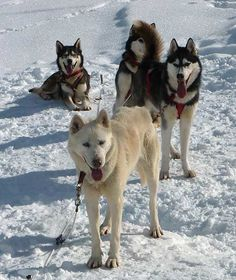 Mein erster Tag mit Huskies Husky, Dogs, Animals, First Day, Animales, Animaux, Animal Memes, Husky Dog, Animal