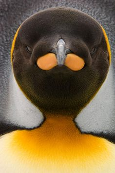 The vivid colors of a king penguin on South Georgia Island are evident in this tight shot. Penguin World, Penguin Animals, King Penguin, Penguin Art, Penguin Love, Cute Penguins, Rare Animals, Penguin Pictures, Wild Animals Pictures