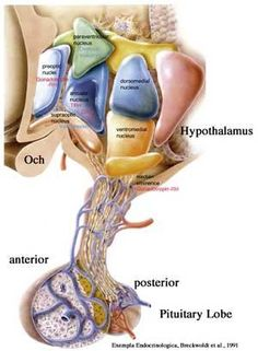 the hypothalamus and the emotional response a very close relationship