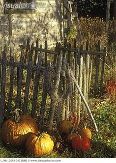 Pumpkins at base of rustic wooden fence