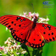 ¿ #SabíasQue las mariposas pueden ver la luz ultravioleta? #CuriosidadesCEO  www.ceomedellin.com