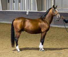bay - Lipizzan stallion Maestoso Batrina