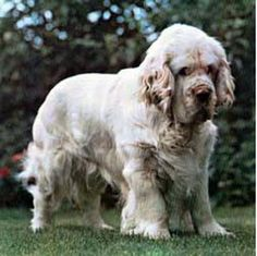Clumber Spaniel Clumber Spaniel Breed Standard Sporting Group General Appearance The Clumber Spaniel is a long, low, substantial dog. Clumber Spaniel Puppy, Spaniel Puppies, Cocker Spaniel, Dogs And Puppies, Doggies, Animals And Pets, Cute Animals, Medium Dogs, Large Dogs