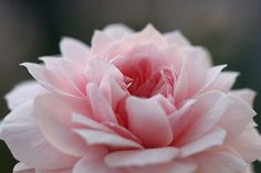 A close-up of my beautiful, delicate pink Jane McGrath rose in my garden by Lilibet Stanley