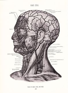 1926 Human Anatomy Print Veins of Face Neck and Scalp by Holcroft, via Etsy. .... I would hang this in my own home office in a heartbeat. strangely beautiful.