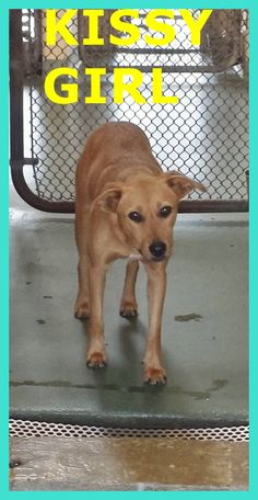 COOKIESHA (A1669134) I am a sweet girl that is scared of all the loud noises here at the shelter! I love to give kisses! I am a female tan Labrador Retriever mix. The shelter staff think I am about 1 year old. I was found as a stray and I may be available for adoption on 01/03/2015. — Miami Dade County Animal Services. https://www.facebook.com/urgentdogsofmiami/photos/pb.191859757515102.-2207520000.1420048423./899723290062075/?type=3&theater