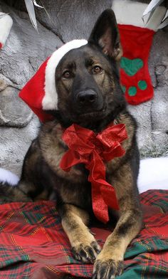 I Love this Picture! What a Beautiful German Shepherd!