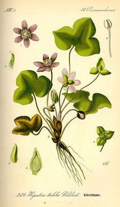 Hepatica nobilis0 - Sinivuokko